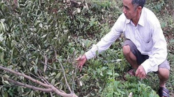 Không khởi tố vụ vườn cam 100 gốc của thương binh nghèo bị chặt phá
