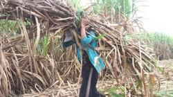 """Long An: Nông dân mỏi mắt chờ nhà máy đường """"giải cứu"""" mía"""