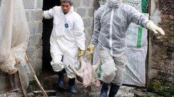 FAO: Dịch tả lợn châu Phi KHÔNG đe dọa trực tiếp sức khỏe con người
