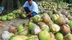 Cà Mau: Mía lỗ dài cổ, bực mình trồng dừa dứa, thu 20 triệu/tháng
