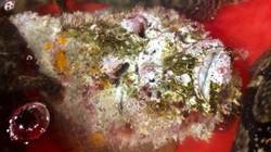 """Quảng Ngãi: Hiếm thấy cá mặt quỷ """"khủng"""" nặng hơn 3,5kg như thế này"""