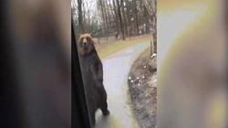 Gấu nâu bị bắt đi bằng hai chân khiến dân mạng phẫn nộ