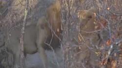 Video: Đàn sư tử kịch chiến sư tử đực to lớn nhăm nhe chiếm trọn cả bầy