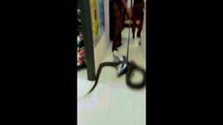 Malaysia: Choàng tỉnh lúc 4 giờ sáng, thấy trăn dài 3 mét quấn quanh cổ