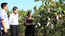 Trồng ổi Trân Châu Đài Loan, 1 ngày thu 1-2 tạ trái, lái khuân sạch