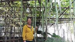 Hàng trăm quả mướp rắn trong khu vườn Quảng Trị, mỗi quả dài gần 2m
