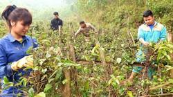 Trồng cây thuốc quý dưới chân núi, thu cả trăm triệu mỗi sào