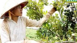 Đắk Nông: Trồng 1.600 cây này, thu 3 tấn trái khô, bán được 400 triệu