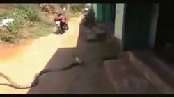 Video: Người đàn ông khuất phục hổ mang chúa khổng lồ dài 4m ở Ấn Độ