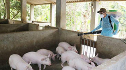 Sẽ có vaccine phòng dịch tả lợn châu Phi trong 12 tháng tới?