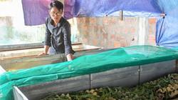 Trai trẻ nuôi con kêu ri ri, cắt cánh đi bán được 200 ngàn/ký