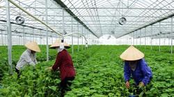 Mỗi tháng hái 5-6 triệu lá tía tô xanh bán cho Nhật, thu 2 tỷ đồng