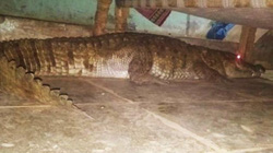 Ấn Độ: Nghe tiếng động lạ, hoảng hồn thấy cá sấu mang thai dưới gầm giường