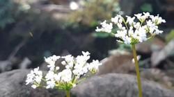 Clip: Ngắm loài hoa 10 năm mới nở 1 lần trên đỉnh Pu Ta Leng