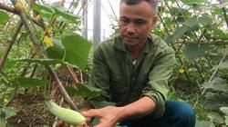 Trồng hơn nửa ha dưa chuột, hơn 30 ngày có trái, lái khuân hết
