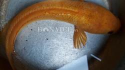 Chưa từng thấy: Câu được cá lóc vàng ở ao hoang, cả làng đến xem
