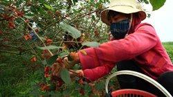 Cùng loại cây, trồng lấy lá vất vả ít tiền, chuyển trồng lấy quả kiếm bộn tiền
