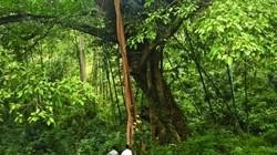 Kỳ lạ, rừng gỗ nghiến 13ha toàn cây to, hàng trăm năm dân bảo vệ