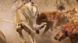 To gan săn sư tử, linh cẩu nhận cái kết đắng ngắt
