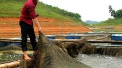 Bỏ phố về hồ Thác Bà nuôi cá ngạnh, kéo lưới lên cá quẫy ầm ầm