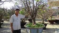 """Quảng Nam: Đổi đời nhờ bí quyết trồng những cây mai """"khủng"""""""