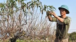Bỏ cam trồng đào, dân Đồng Tâm sống ung dung