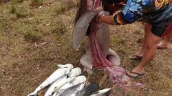 """Úc: Mổ bụng cá mập """"khủng"""", sốc khi thấy 9 con vật rơi ra ngoài"""