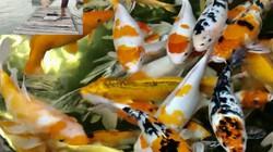 """Quảng Ngãi: Độc đáo thuần hóa loài cá """"ngoại quốc"""" trên sông Trà Khúc"""
