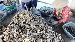 """Liều nuôi loài hàu dễ  """"chết sớm"""" ở sông Cửa Lấpthu 4 tỷ/năm"""