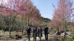 Hoa đào rừng nhuộm hồng huyện Mù Cang Chải, xuân đang về