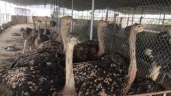 """""""Đột nhập"""" trang trại nuôi 100 con chim """"khổng lồ"""" trị giá tiền tỷ"""