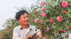 Về làng này tha hồ chụp ảnh với hoa hồng cổ, không mất phí đâu