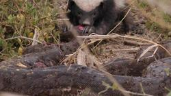 Loài vật nhỏ bé khiến rắn hổ mang, trăn khổng lồ khiếp sợ