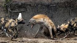 """Đơn độc xâm phạm lãnh thổ, linh cẩu bị đàn chó hoang """"hành hạ"""" và cái kết bất ngờ"""