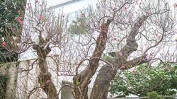 Đào cổ thụ dáng Tam Đa giá trăm triệu hút ánh nhìn trên phố Hà Nội