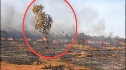 Úc: Chim thông minh biết dùng lửa để săn mồi, khiến cháy rừng trở thành đại họa