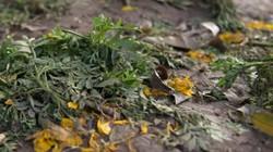 Hối hả khắc phục sự cố giẫm đạp vườn hoa quanh hồ Gươm sau Tết