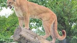 Mỹ: Bắn chết 3 con sư tử núi biết mùi vị thịt người