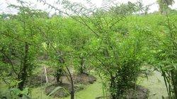 """""""Dúi"""" mai chiếu thủy xuống ruộng lầy, cây xanh tốt, bán đắt tiền"""