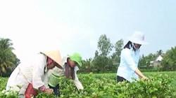 Dân ở đây trồng cây lài bán bông, cứ 1 ký giá 300.000 đồng