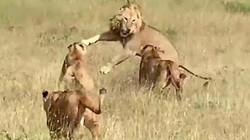 Sư tử phi thân tóm gọn linh dương giữa không trung