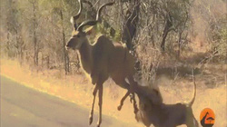 Video: Sư tử phi ra giữa đường săn linh dương, bị đạp không ngừng vào mặt