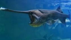 Vua cá nước ngọt khổng lồ siêu quý hiếm tuyệt chủng ở Trung Quốc