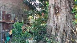 Gần Tết, nơm nớp từng ngày bên 3 cây 'quái thú' bị bỏ rơi tại Huế