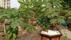 CLIP: Đu đủ bonsai dáng siêu độc, hút khách mua chơi Tết