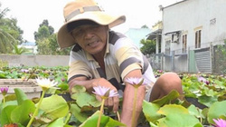 """Đồng Tháp: """"Phát sốt"""" với trồng bông súng Thái, thu 150 triệu/tháng"""
