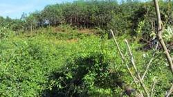 """Biến loài cây mọc hoang dại trở thành """"thần dược"""" chè dây"""