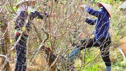 Đào Nhật Tân khoe sắc ở đất cao nguyên, giá thuê 20 triệu mỗi cây