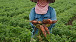 VinEco cam kết mua 1.000 tấn cà rốt Hải Dương, giá cao gấp đôi