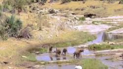 Video: Đàn linh cẩu cướp mồi của sư tử cái, sợ hãi bỏ chạy khi thấy chúa sơn lâm